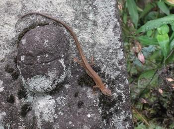 吉祥寺のカナヘビ.JPG